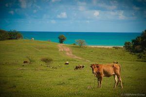 Vache Cow Sea Mer Guadeloupe Photographe Mariage Professionnel Bruxelles Belgique Stéphane Evras